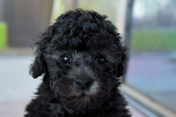 トイプードル(シルバー)の子犬_オーナー様決まりました