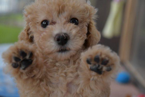 トイプードル(クリーム)の子犬_オーナー様決まりました