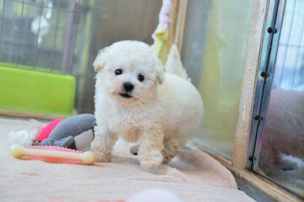 トイプードル(ホワイト)子犬_オーナー様決まりました