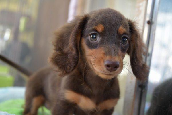 ミニチュアダックスフンドの子犬_オーナー様きまりました
