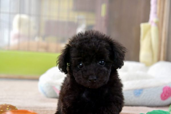 トイプードル(ブラック)の子犬_オーナー様決まりました