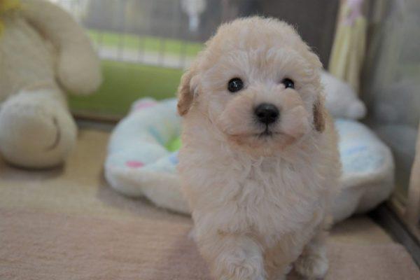 トイプードル(ホワイト)の子犬_オーナー様きまりました