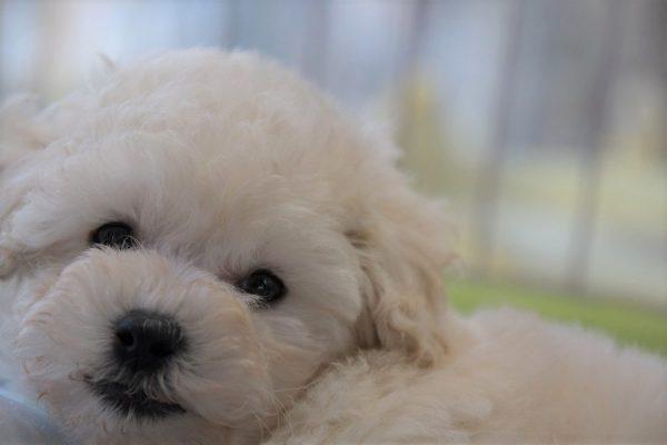 トイプードルの子犬(ホワイト)_オーナー様きまりました