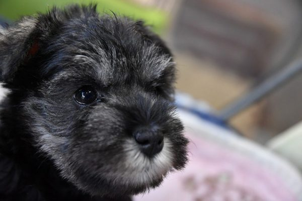 ミニチュアシュナウザーの子犬_オーナー様きまりました