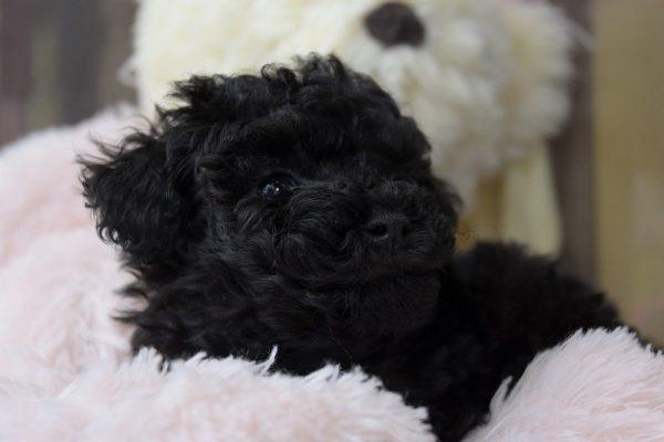 トイプードルの子犬(ブラック)_オーナー様きまりました