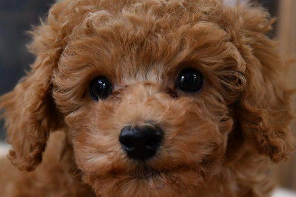 トイプードルの子犬(レッド)_オーナー様きまりました