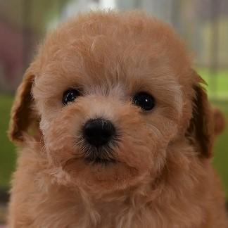 トイプードルの子犬(アプリコット)