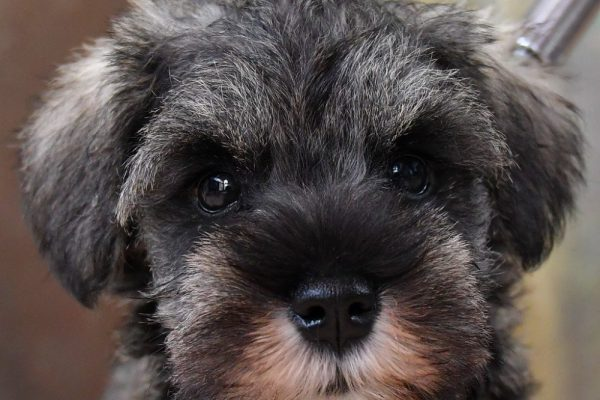 ミニチュア シュナウザーの子犬