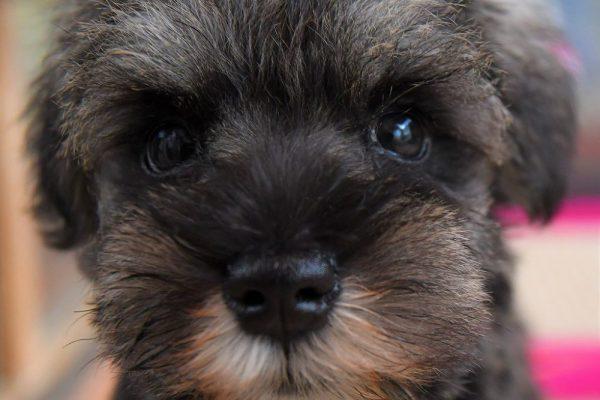 ミニチュア シュナウザーの子犬_オーナー様きまりました