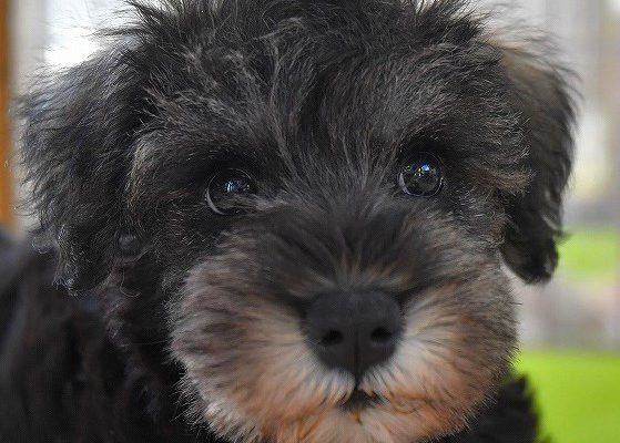 ミニチュアシュナウザーの子犬